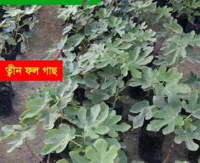 ত্বীন ফলের চারা Fig plant