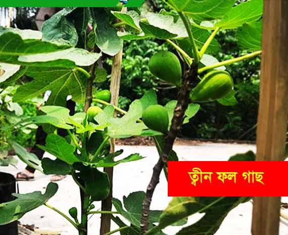 মিশরীয় ডুমুর বা ত্বীন ফল গাছ Teen-Fig plant